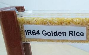 'Golden Rice' now closer to reality