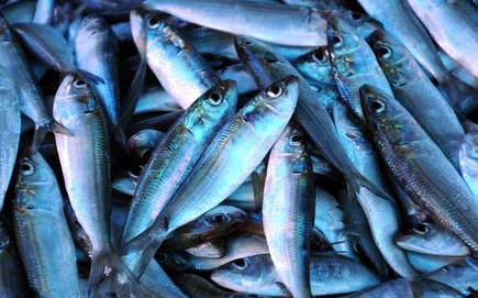 Catch Of The Day Oil Sardines Back On Keralas Waters The