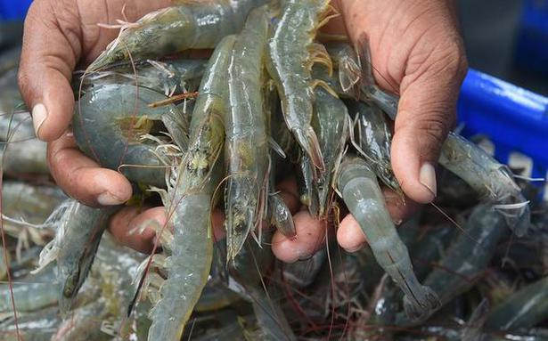 Decline in global prices triggers worry for Indian shrimp exporters