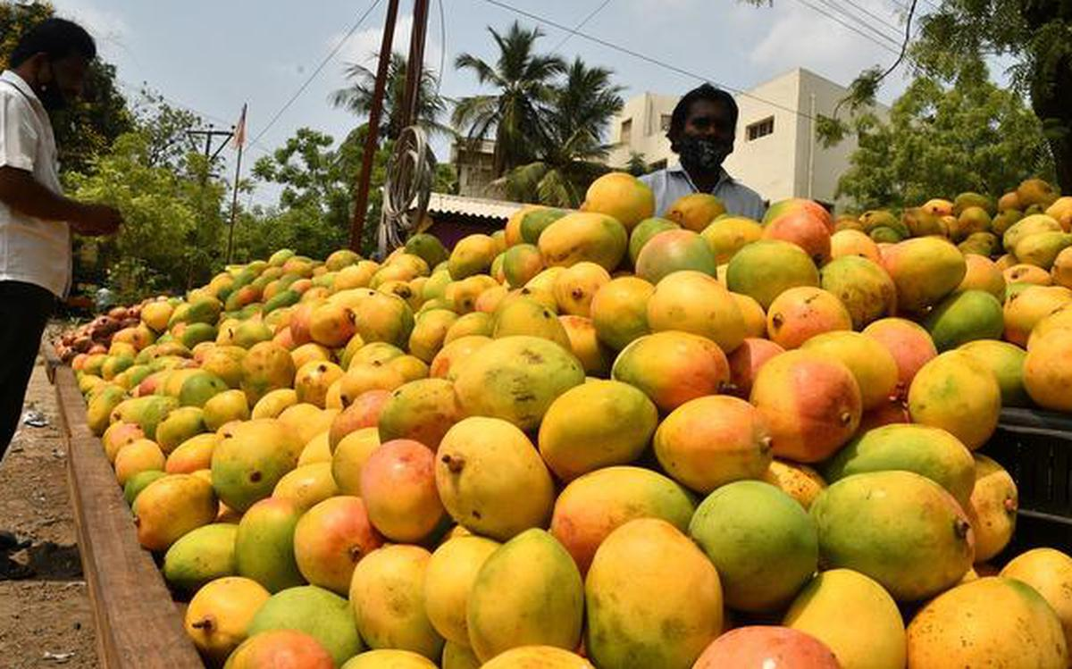 India commences export of 16 varieties of mangoes to Bahrain - The Hindu  BusinessLine