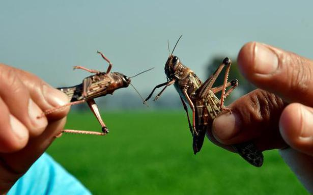 Locusts damage crops on nearly 1.5 lakh hectares