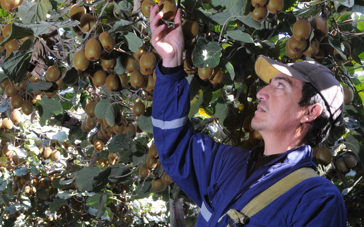 Chile Launches Campaign To Promote Kiwifruit In India The Hindu Businessline