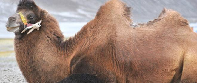 The Double Hump Camel