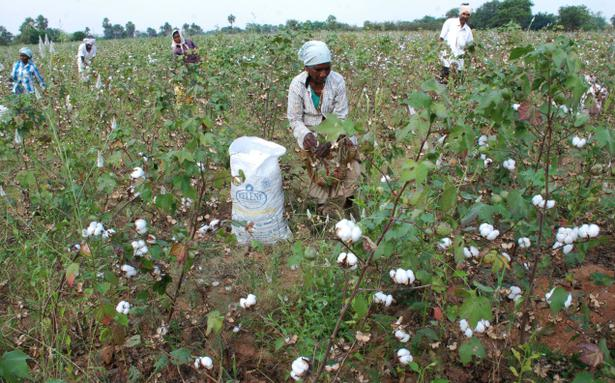 cotton acreage declines on poor sowing in maharashtra