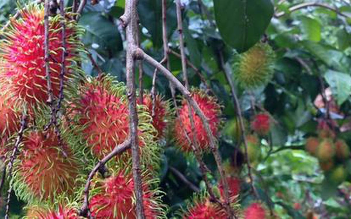 Rubber Growers Bounce Back On Rambutan