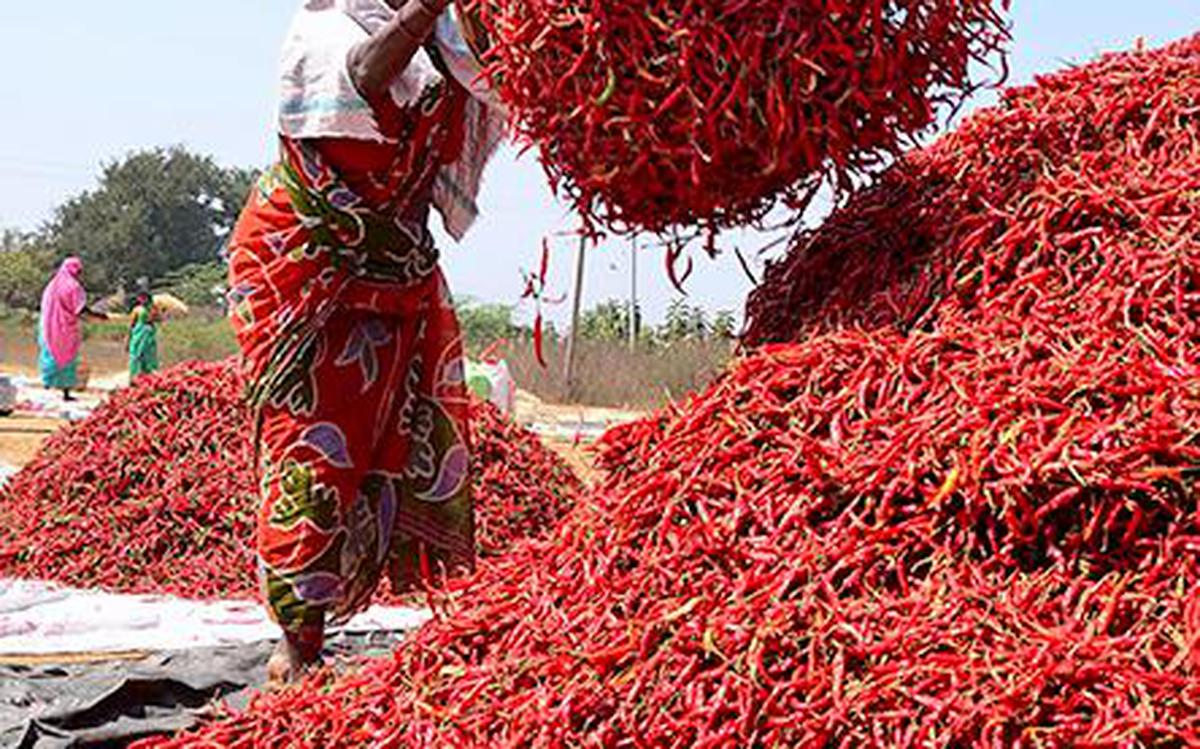 Telugu Agriculture News-Chilli Growing Tips And Tricks