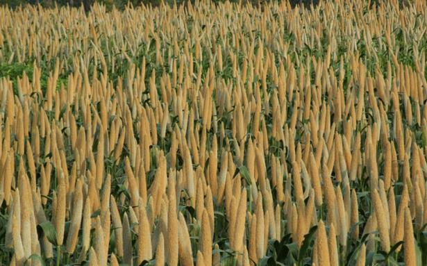 Millet cultivation more viable than commercial crops - The Hindu BusinessLine