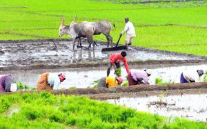 Truant rains affect sowing of major kharif crops up to 50%